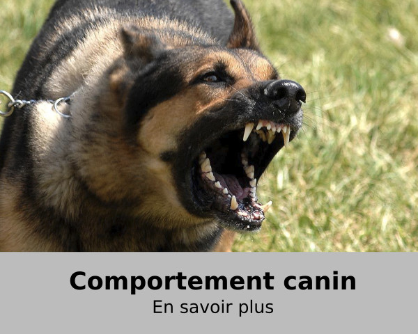 agressvité-chien