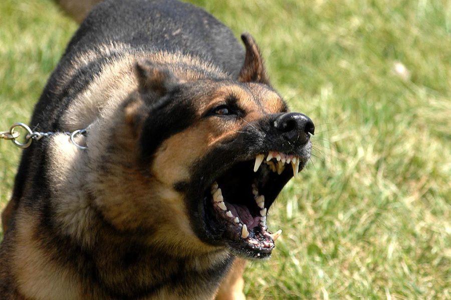 agressivité-chien